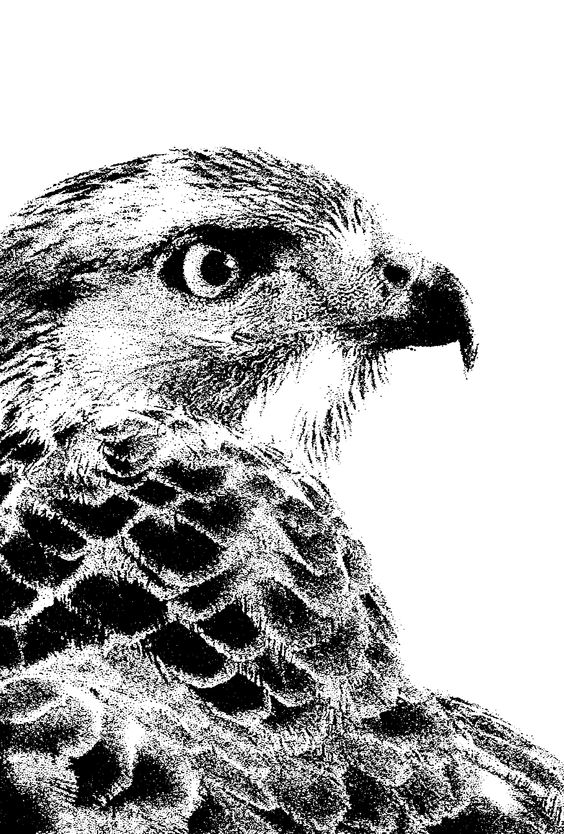 A high-contrast, black and white photo of a hawk.